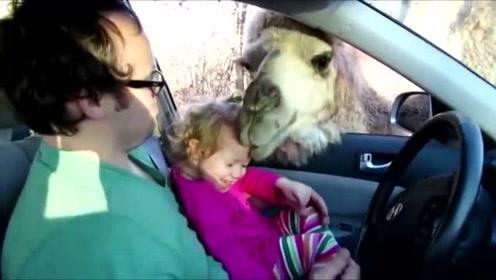 小女孩回家偶遇骆驼,直接被骆驼来了波舔脸杀,不给吃的就调戏娃