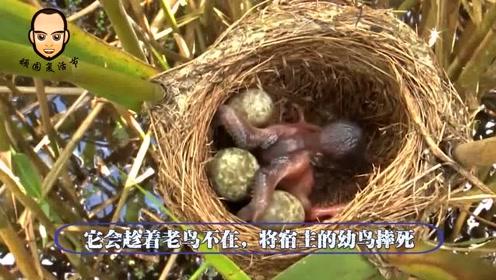 世界上最狠毒的鸟,把蛋产在别人的巢里,把别人的蛋吃掉