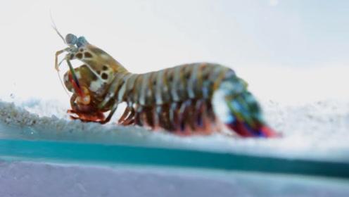 养这种观赏虾得注意了,请务必用防弹玻璃鱼缸,战斗皮皮虾?