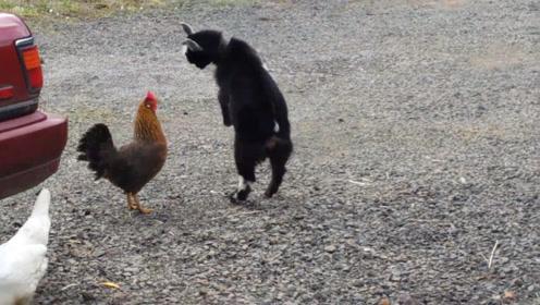 小羊刚刚学会这一招就跑去找鸡打架,接下来请千万憋住不要笑