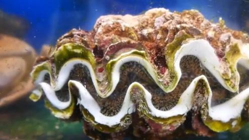"""它因为味道鲜美,优胜于多种海鲜,被称为""""刺身之王"""""""
