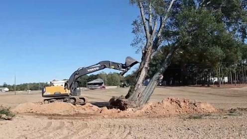 四两拨千斤,挖掘机师傅有智慧,这么粗的一棵大树被推倒了