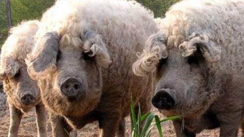 """这种猪身上长满""""羊毛"""",难道是两者结合体?一起来见识下"""