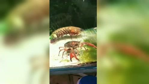 萌宠 世界上最后弹脑嘣的皮皮虾,绝对养眼!