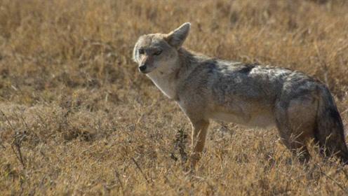 """祁连山发现一""""奇异野兽"""",像狼和狐的混合体,会吹口哨扑捉猎物"""