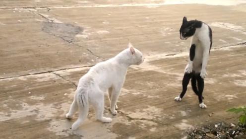 猫咪打起架狮子都怕,一言不合就站起来放大招!我一出拳你就倒