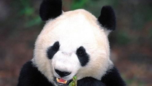 动物百科:大熊猫为什么被视为中国的国宝