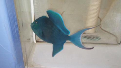 极具梦幻色彩的海水鱼,这条鱼值钱了!
