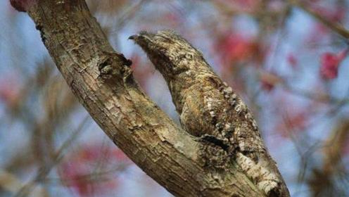 """一出生就会伪装成树木的鸟,从不到地面捕食,被称为""""伪装大师"""""""