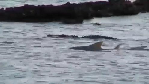 """水中霸主鳄鱼大战海洋霸主鲨鱼,谁才是真正的""""水中霸主""""?"""