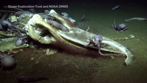 海底死去的鲸,被其它鱼吃到只剩骨架,小章鱼拿它做窝了