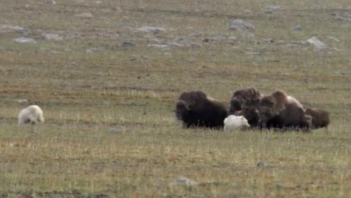 凶悍狼群猎杀小麝牛,麝牛群坚决反抗不屈服,野狼最终只得开溜