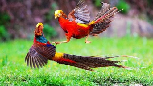 酷似凤凰的鸟儿,外表像极了调色盘,看到雌鸟却傻眼了