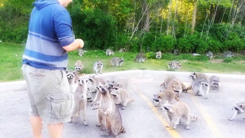 男子刚拿出一包薯片,一大群浣熊就从树林跑了出来,真的是太可爱了