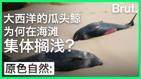 大西洋的瓜头鲸为何在海滩集体搁浅?