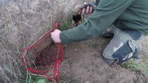 野兔到处挖洞,男子放一只貂进去,结果让他大喜