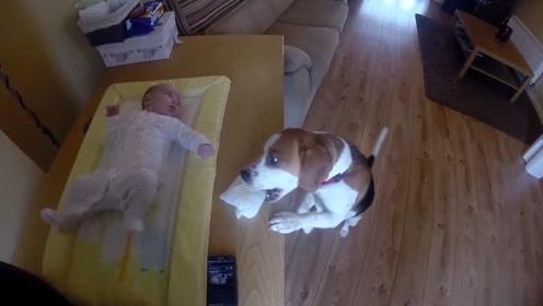 妈妈给娃换尿片,狗保姆跑前跑后帮忙,拿湿巾尿片扔垃圾,累坏了