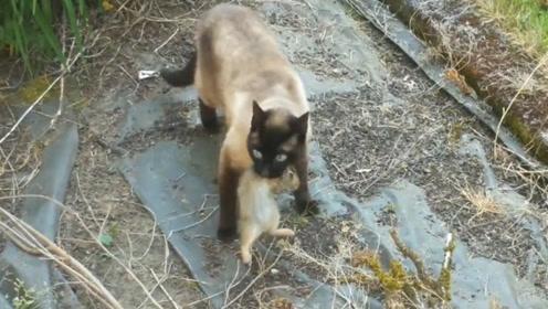 兔子逃跑猫咪去追,结果半路杀出一只老鹰,监控记录下全程