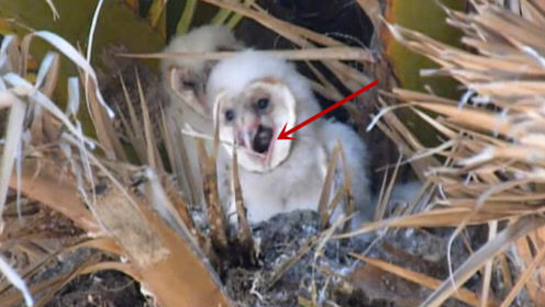 猫头鹰临死前会吐出一个毛球,这是怎么回事?看完才知道原因