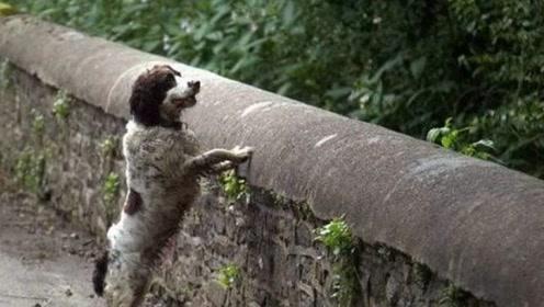英国恐怖诅咒之桥专杀狗狗 只要狗狗走到这里就会疯狂跳桥