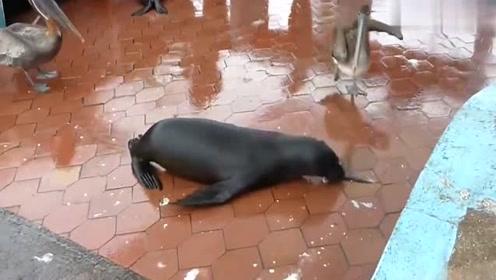 海狮与鹈鹕争抢鱼尾,真是太逗了