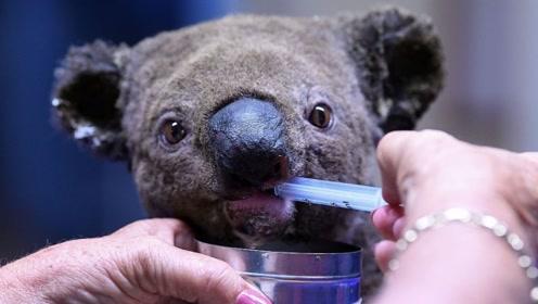 澳大利亚大火致数百考拉被烧死 尸体呈黑炭状极其凄惨