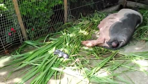 刚生完宝宝的老母猪,全身颤抖