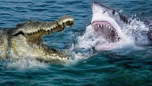 鲨鱼VS鳄鱼,究竟谁更厉害?看完之后涨知识了!