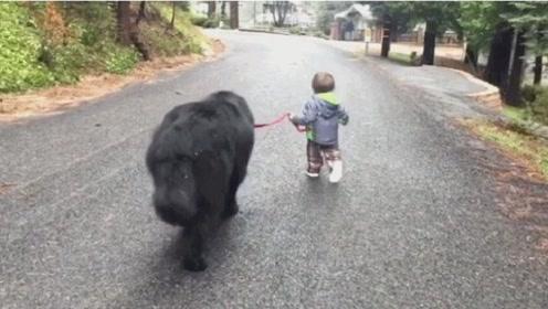 4岁小孩带着纽芬兰犬去散步,像带着一个保镖,网友:谁敢惹他?