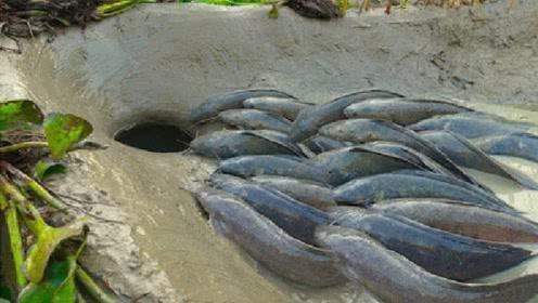 牛人在河道中埋下陶罐,自动吸引过路肥鱼,抓得简直太过瘾了!