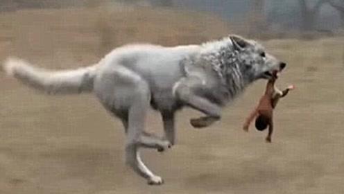 为什么狼遇到人类婴儿,会将其养大而不是吃掉?看完涨见识了