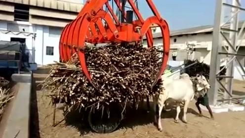 满满一牛车的甘蔗直接往流水线里放,印度榨糖厂这操作很粗犷