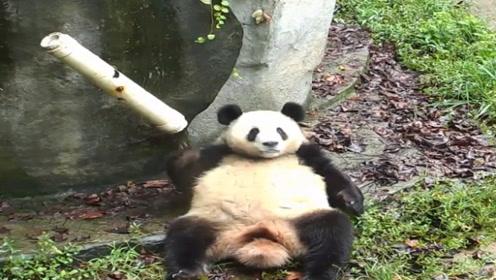水管意外打到熊猫,熊猫越想越气跟它死磕,镜头记录搞笑过程