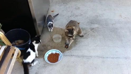 小浣熊霸占猫粮,爱干净的它边洗边吃,走时还不忘捧一把