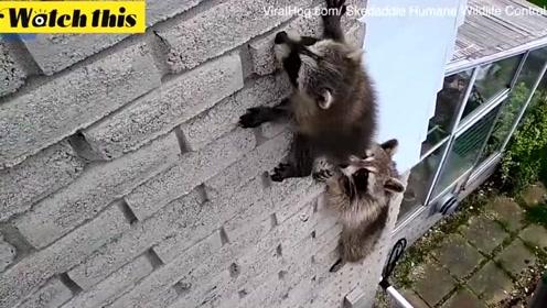 小浣熊爬高墙受困 浣熊妈妈勇敢营救上演温馨一幕