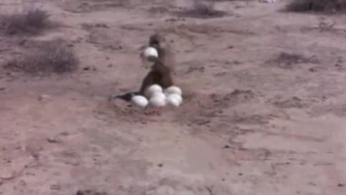 男子假扮鸵鸟去偷蛋,调虎离山之后,猴子却坐收渔翁之利
