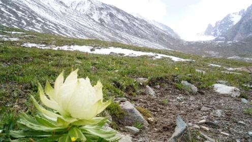 世界最罕见的花生长于极寒之地 5到8年才开花一次