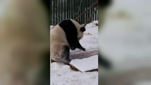 当大熊猫第一次见到雪:像极了没见过大雪的南方人!