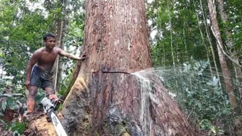 """伐木工砍树,发现大树不停流""""眼泪"""",难道这是棵神树?"""