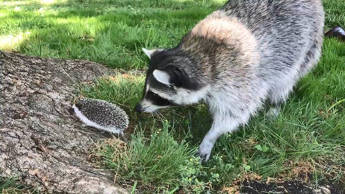 浣熊在草地上发现一只刺猬,偏要往前凑,结果就后悔了吧