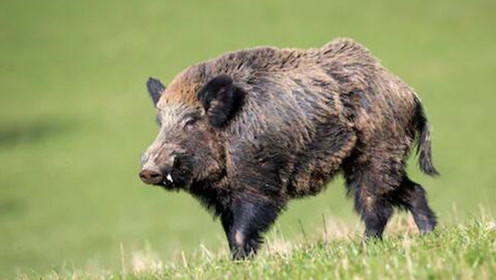 意大利野猪泛滥农民很抓狂,每年损失超7亿元