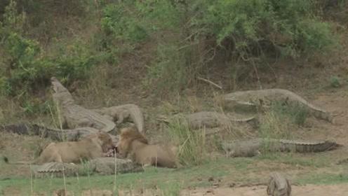 难得一见,如此大度的雄狮竟与一群鳄鱼一起吃饭!而没有发生争夺