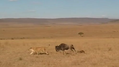 狮子潜伏在草丛中欲偷袭野牛,下一秒野牛的反应让狮子直接崩溃