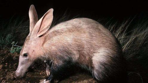 """女子收留一只""""无毛猪""""饲养数月后发现不对劲,这是个什么生物?"""