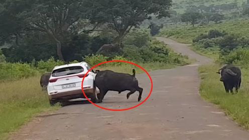 司机偶遇野牛场面失控,立马踩油门逃跑,牛脾气真的惹不得