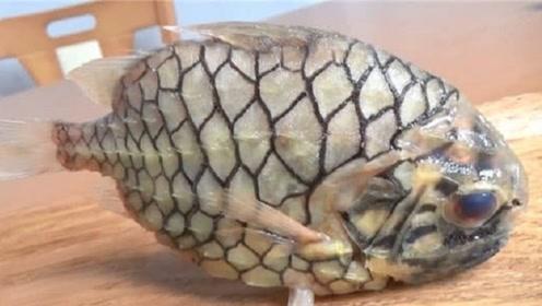 世界上钻石级硬度的鱼,煮不烂,剪刀剪不开,日本人是怎么吃它的
