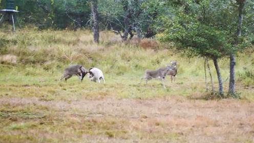 公羊挑衅鹿被教训,屁股一把被顶起,肚子都要笑疼了