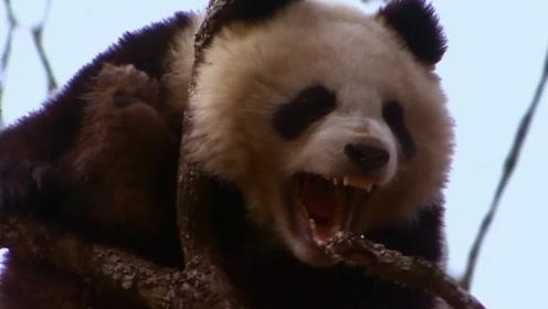 狮子和老虎为什么不吃大熊猫?熊猫:请你查一下老子以前名字