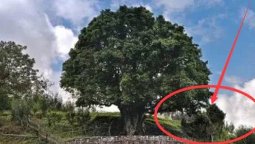 世界上最珍贵的树:中国派警卫全程监护,一片叶子就值20万