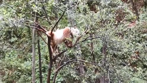 秦岭地区发现一只神兽,全国只有一只,世界都在羡慕中国!